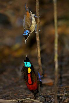 Wilson's Bird-of-paradise, Cicinnurus respublica (Female - top, Male - bottom)