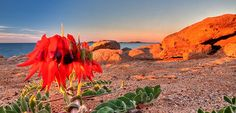Sturts Desert Pea Cleaverville W. Bird People, 7 Continents, Western Australia, Landscape Architecture, Wonders Of The World, Wild Flowers, Monument Valley, Landscape Photography, Places To Go