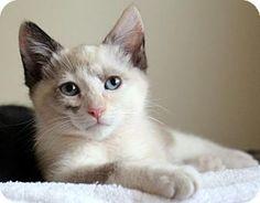 HILLSBORO, OR - Siamese. Meet Daisy, a kitten for adoption. http://www.adoptapet.com/pet/13204440-hillsboro-oregon-kitten