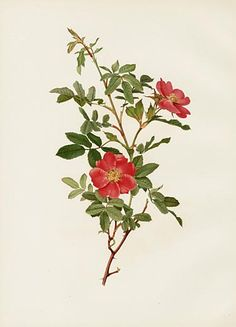 Ellen Willmott Rose Prints 1914 from The Genus Rosa - must click through to see this collection!