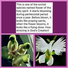 Orchid species names flower of the Holy Spirit