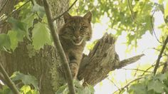 Shy and elusive. Bobcats may call West Virginia home, but you rarely see them in the wild.It's that mystery that intrigues both the West Virginia DNR and West Virginia University biologists.That's why they're teaming up to try to answer some questions abou
