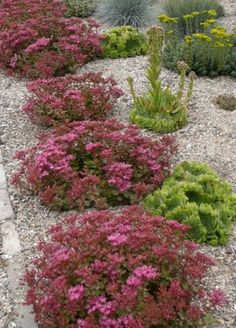 Fuldeglut Stonecrop July, Attracts Butterflies, hearty