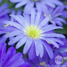Anémone blanda bleue : godet