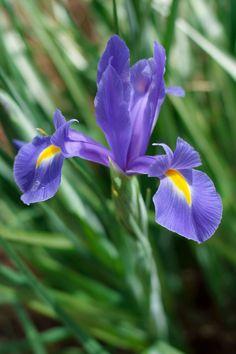 *Iris laevigata=カキツバタ(燕子花、杜若)