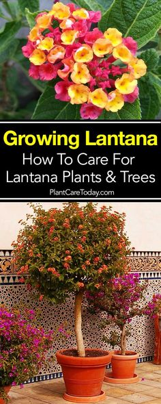 The lantana plant, a bright, sun-loving plant producing flowers in abundance and rewarding you with lots of color. Mastering lantana care is not difficult. Made to order for any bright patio with lots of sun. Lantana's are basically tropical plants requir Plants, Lantana, Beautiful Flowers Garden, Lantana Bush, Lantana Tree, Tropical Plants, Trees To Plant, Lantana Plant, Landscaping Plants