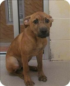 Birmingham, AL - American Pit Bull Terrier Mix. Meet Teto, available at the Greater Birmingham Humane Society.