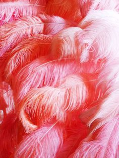 lovely shades of pink plumes