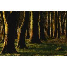 Glenville Woods County Cork Ireland Tree Trunks In Forest Canvas Art - Richard Cummins Design Pics (36 x 24)