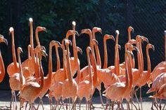 Gratis bild på Pixabay - Flamingo, Vatten, Vinge, Bird, Djur