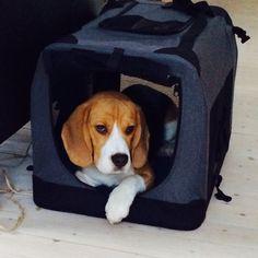 Beagle on the move