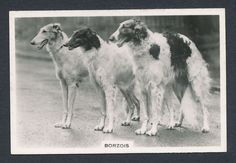 Borzois Russian Wolfhound from series Dogs by Senior Service Cigarettes card #32
