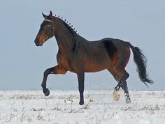 Orlov Trotter Vozhd'. His breed is the most famous horse to come out of Russia and combines elegant action and endurance with good speed. Half of all Orlovs are grays, but blacks, bays,and the rare chestnut are seen.
