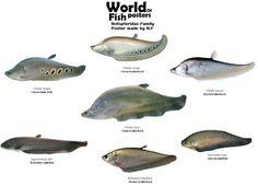Tropical Freshwater Fish, Tropical Fish Aquarium, Tropical Fish Tanks, Oscar Fish, Unusual Animals, Animals Beautiful, Fish Chart, Cichlid Aquarium, Monster Fishing