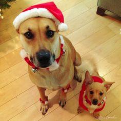 santa's little helpers #dogs #cute