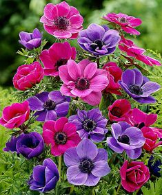 Anemone de Caen Mixed Flower Bulbs from Bakker Spalding Garden Company Exotic Flowers, Amazing Flowers, Beautiful Flowers, Happy Flowers, Beautiful Scenery, Purple Flowers, Arrangements Ikebana, Flower Arrangements, Anemone Flower