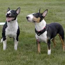 Minature Bull Terriers have personality plus!
