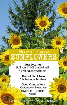 Companion Gardening How to grow sunflowers - best location and planting companions. - Ready to plant sunflowers? Find out the best time to sow the seeds, how much sun they need, right soil type, good and bad companion plants, plus care and harvest tips. Organic Gardening, Plants, Growing Tomatoes In Containers, Sunflower Garden, Vegetable Garden Markers, Spring Vegetable Garden, Types Of Soil, Growing Sunflowers, Gardening Tips