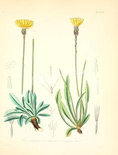 leontodon incanus, leontodon tenuiflorus      ...