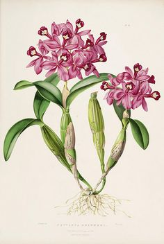 Cattleya  is a genus of 113 species of orchids from Costa Rica and the Lesser Antilles south to Argentina.