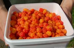 Loved the cloudberries in Finland.