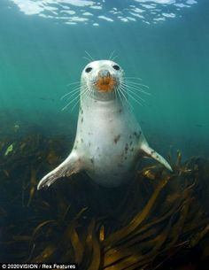 I get by with a little kelp from my fronds: A grey seal swims among kelp off the…