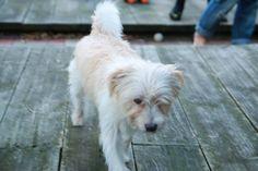 Ollie Silky Terrier   Pawshake