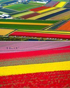 Campi di papaveri olandesi