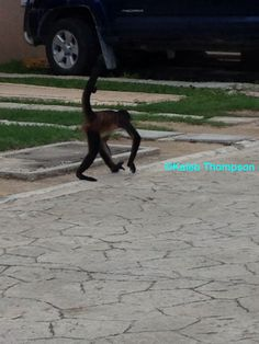 Spider monkey walking along the road
