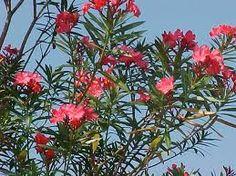 Oleander: Green Dye