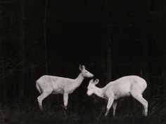 Deer, Michigan Photograph by George ShirasTwo deer are seen at...