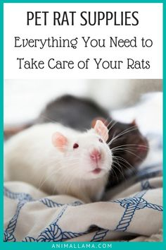 Are you a rat owner-to-be? Here are all the necessary pet rat supplies you need to properly care for your new rodent friends. Make your rats happy and healthy! Pet Rat Cages, Tortoise As Pets, Rat Care, Rat Toys, Healthy Pets, Happy Healthy, Pet Rats, Pet Care Tips, Pet Supplies