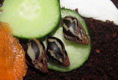 Limicolaria martensiana