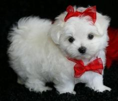 I want this adorable Maltese puppy so bad!!                                                                                                                                                                                 More