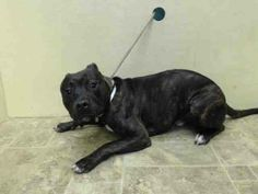 GONE --- Brooklyn Center    ARES - A1003543   NEUTERED MALE, BL BRINDLE / WHITE, PIT BULL MIX, 8 mos  OWNER SUR - EVALUATE, HOLD RELEASED Reason MOVE2PRIVA   Intake condition NONE Intake Date 06/17/2014, From NY 11433, DueOut Date 06/17/2014 https://www.facebook.com/Urgentdeathrowdogs/photos_stream