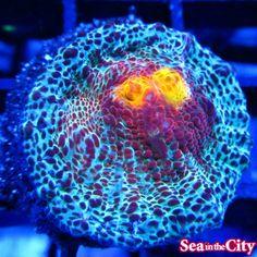 Volcanic Ice Chalice Coral ❤️ J Hearts Saltwater Fish Tanks, Saltwater Aquarium, Marine Aquarium, Reef Aquarium, Chalice Coral, Flora Marina, Lps, Sps Coral, Marine Tank