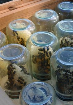 in Jars Beekeeping tip: How to encourage honeybees to build honeycomb inside glass jars. via Lovely GreensBeekeeping tip: How to encourage honeybees to build honeycomb inside glass jars. via Lovely Greens Glass Jars, Mason Jars, Bee Hive Plans, Honey Bee Hives, Honey Bees, Beekeeping For Beginners, Raising Bees, Bee Farm, Bee Happy