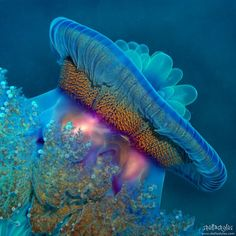 Berenice jellyfish in the Red Sea, Egypt. Jellyfish colors amaze me! Under The Water, Under The Ocean, Sea And Ocean, Underwater Creatures, Underwater Life, Ocean Creatures, Medusa, Beautiful Creatures, Animals Beautiful