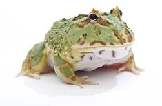 Care Sheet - The Pac-Man frog is also known as the horned frog.