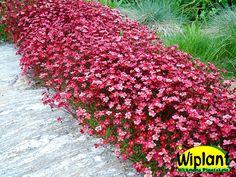 Saxifraga arendsii, Rosenbräcka. Blommar rikt i maj - juni. Vintergrön. 15 cm.