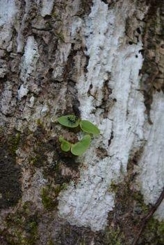 Les fourmis fidjiennes cultivent des plantes épiphytes depuis 3 millions d'années. Il s'agit là d'un cas de symbiose extrêmement spécialisé. Cas, Science, Ants, Insects, Plants, Animaux