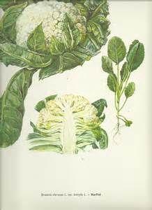 """Résultat de recherche d'images pour """"dessin botanique des choux fleurs"""""""