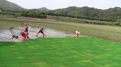 모(어린 쌀나무) 옮겨 십기