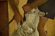 Shearing; sheep farm; Canterbury region near Geraldine, South Island, New Zealand.  January 2014.