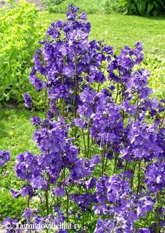 Salvia sylvestris Mainacht / May Night. Flowers May-June, h 60 cm, spread 45 cm. Rose Queen, Tall Plants, Salvia, Purple Rain, Raised Beds, Perennials, Night Flowers, Blue And White, June