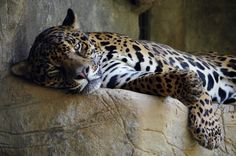 Otorongo taking a well-deserved nap in his enclosure at El Refugio. Jaguar, Panther, Shelter, Wildlife, Animals, Shelters, Animales, Animaux, Animais