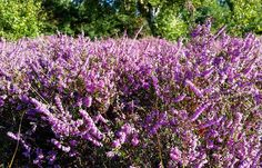 Blühende Heide   #hiddensee #heidebluete #heidebloem #heide #violet #heath