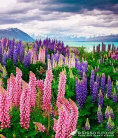 djferreira224:  Lupins ~ Lake Tekapo, Mackenzie Basin, New Zealand