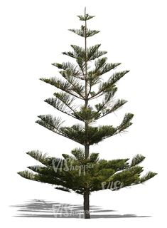 A cut out Norfolk island pine tree