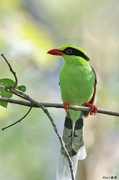 Green Magpie, found in the lower Himalayas in north eastern India, down into central Thailand, Malaysia, Sumatra & northwestern Borneo.